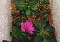 杜鵑花最新繁殖方法 杜鵑花怎樣育苗