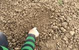 河南農村冬小麥發生了啥?實拍63歲大娘補麥子,農民不容易!