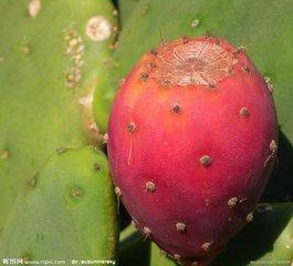 火龍果是仙人掌的果實嗎?