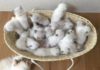 布偶貓一次生了19只,每次餵奶都崩潰看著主人:真的都是我的孩兒