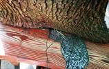 """湖北宜昌有棵樹抱著欄杆長成參天大樹,遊客稱它為""""堅強樹"""""""