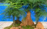 盆栽金邊吊蘭室內吸甲醛青葉吊蘭客廳綠植金心吊蘭花卉綠植