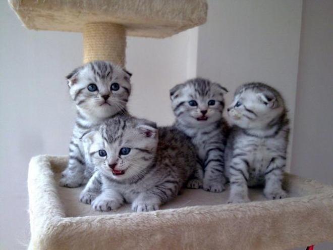 地球上5大最友善的貓咪,折耳貓和波斯貓上榜,有你家的愛貓嗎?