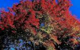 紫塞旅遊:四川青川縣福澤苑賞楓葉獨具一格的美