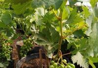 陽臺怎麼種葡萄樹?記住1點小技巧,一盆能結60串,又多又甜