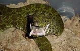 動物圖集:莽山烙鐵頭蛇