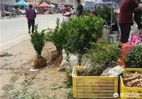 為什麼農村集市上所購買的果樹苗,很難種活?