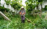 山西66歲農村大媽種葡萄,年賺30萬,看她是如何做到的