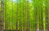 濟南泉城公園裡有一片水杉林,綠意盎然散發著春天的訊息