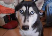 哈士奇本是西伯利亞雪橇犬,結果卻在南方凍成狗,冬天需要取暖器