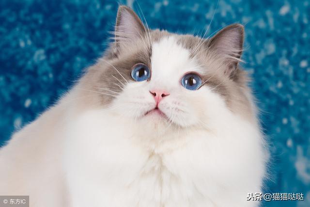 瞭解布偶貓,布偶貓養育知識大全(新人看)