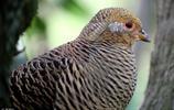 中國特有的13種珍稀鳥類,你的家鄉有嗎?網友:我吃過!