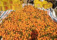 有的人想種植砂糖橘,你覺得能賺大錢嗎?為什麼?