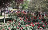 五一期間鄭州各大公園向遊客免費贈送月季花,贈送點排起了長隊