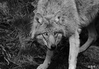 深山狼王(25)老狼王的狼群