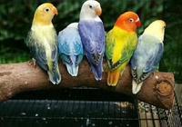 網友爆料:牡丹鸚鵡不能隨便養!小心請去吃飯!這是真的嗎?