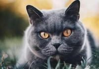 寵物貓咪品種之憨厚可愛的藍胖子英國短毛貓