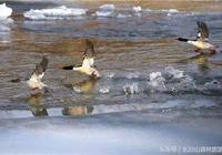 鳥類中的大熊貓——中華秋沙鴨
