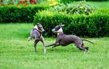 速度超快的靈緹犬,其實運動量不大,還很溫柔適合家養