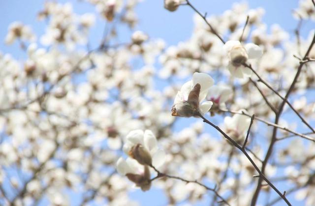 馮驥才:春天最先是聞到的