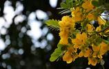 攝影圖集:繁花決明之大花黃槐