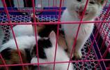 老頭賣花貓,一隻50,沒想到白貓賣得快,花貓一隻也沒賣出去!