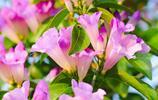 超美的藤本花卉,能爬牆,會開花,太美了