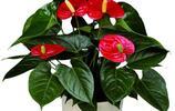 植物美圖:火鶴花