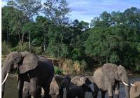 獵人殺大象,大象死亡倒地壓死獵人