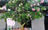 羨慕別人家有小花園?種上這7種名貴品種,讓你家陽臺也不遜色