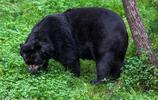 黑熊:種群數量