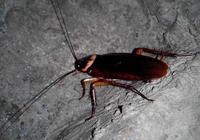 請問,什麼是蟑螂的天敵?