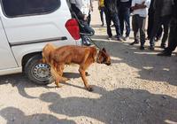 狗市男子出售馬犬價格高達15000元,商販給價6800都不賣?