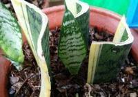 """繁殖虎皮蘭,用這""""2種方法""""扦插,20天冒白根,一盆養出好幾盆"""
