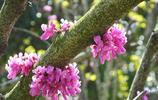 紫荊花:象徵家庭和美 骨肉情深