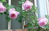 陽臺一兩盆爬藤小花,輕鬆變成空中花園,還不惹蟲
