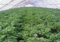 冬季種植土豆,種植溫度的控制最為重要,後期管理也要足夠關注