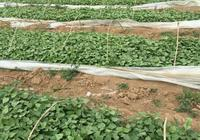 扦插紅薯秧苗有哪些注意事項?怎樣才能做到苗全苗旺?