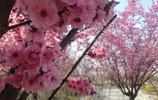 陝西渭南:渭清路綠道的紅梅花兒開了 姜流義 攝影