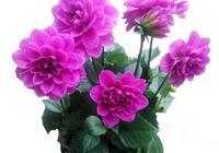 此花比牡丹都美,花開四季、埋土裡就活!