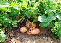 那麼現在能種馬鈴薯嗎?馬鈴薯什麼時候種植?
