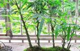 這些景觀爬藤植物可以盆栽地栽,南北方都適合種植,觀賞價值極高