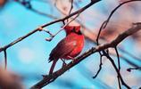 紅衣主教鳥學名紅衣主教蠟嘴鳥,其它名稱有紅衣主教鳥,簡稱主教鳥,或稱為維吉尼亞紅衣主教或北方紅雀