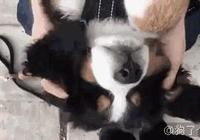 萌寵萌圖第982:伯恩山犬最好玩的部位,爽!