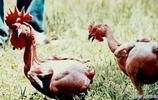 七大最奇特的雞,無毛雞,龍雞,模特雞