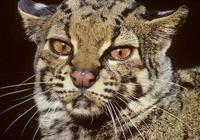 長相和雲豹十分相似,被稱為小云豹的一種貓咪,你敢擼嗎?