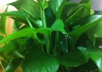 買東西的方便袋不要扔,套在花盆上,葉子賊油綠,密密麻麻開滿花