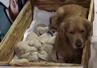 金毛生了一窩小奶狗,主人看完無語,誰是狗崽子的爸爸