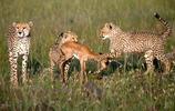 動物王國:獵豹麻麻教小獵豹捕獵技巧