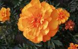 金燦燦的萬壽菊